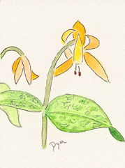 trout lily 72