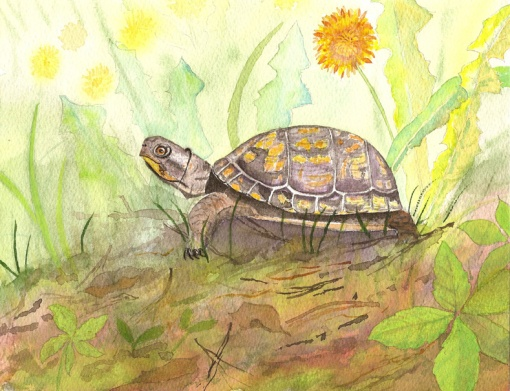 box turtle 72