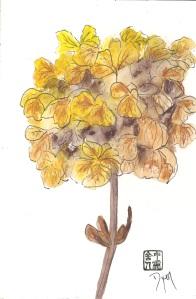 Farley hydrangea
