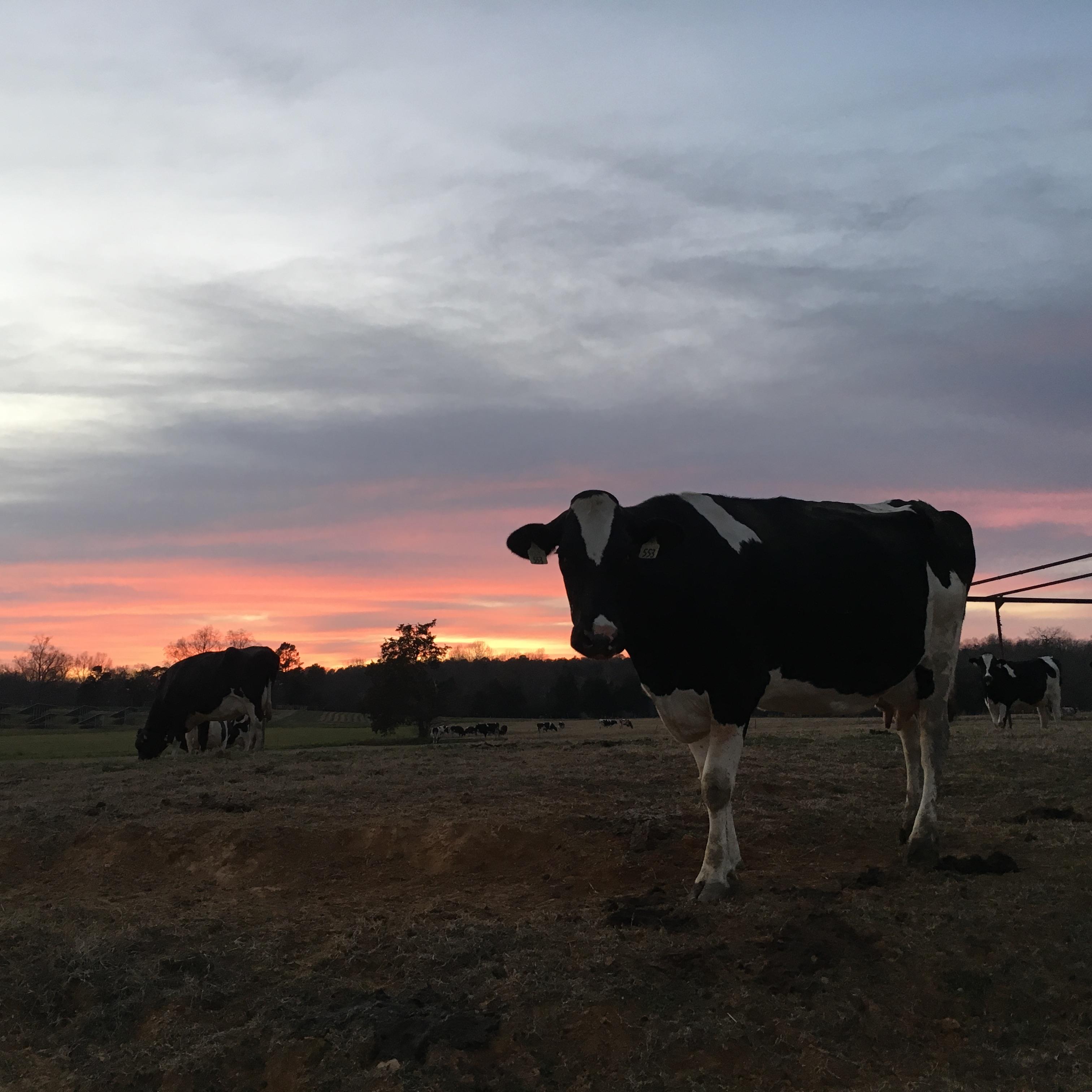 Cow sunset.jpg