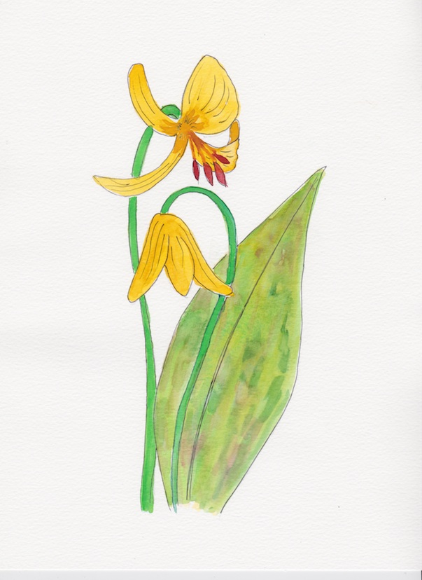 Trout Lily full 72.jpg